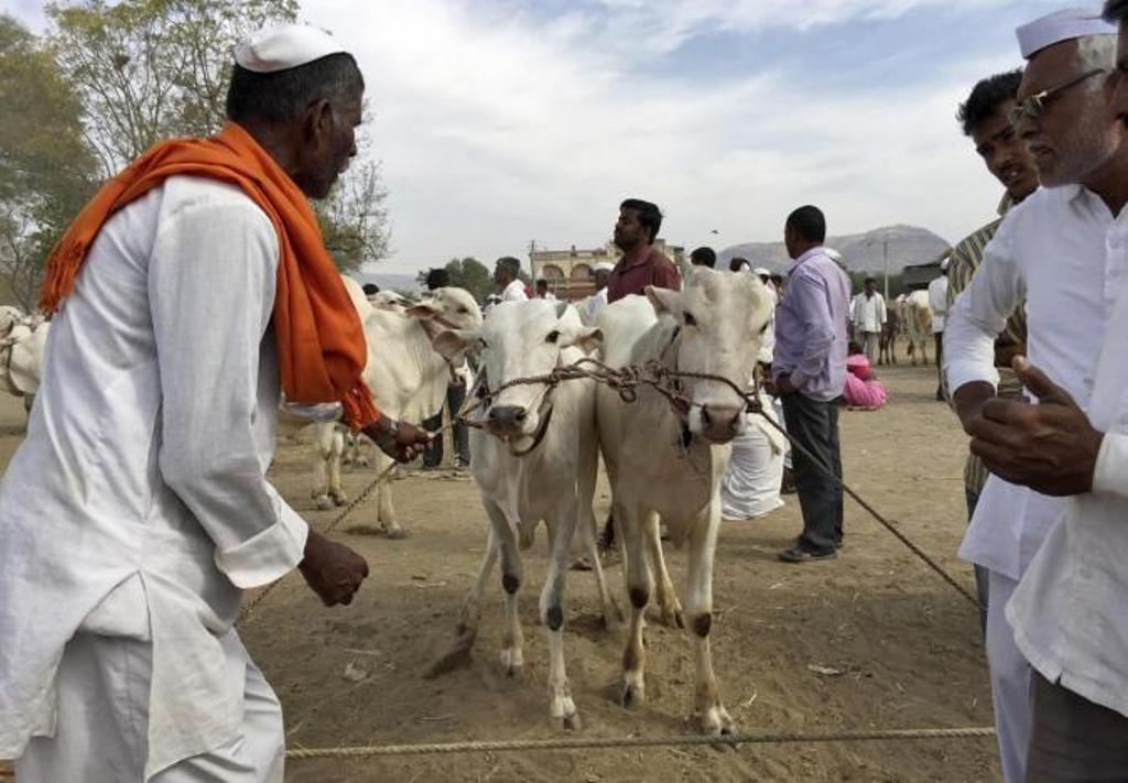 A farmer with a pair of bulls at a weekly cattle market in Maharashtra, India. Photo: Reuters