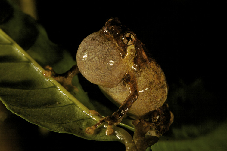 A tiny Choerophryne frog from the Foja Mountains in New Guinea. This one is a calling male. Photo: Tim Laman