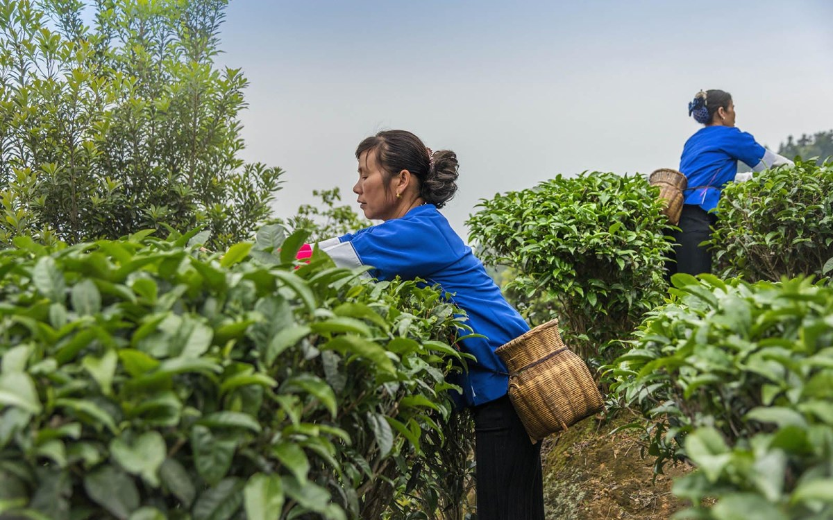 A tea picker harvests the first crop of the year in the Baisha area of southern China. Photo: iStock