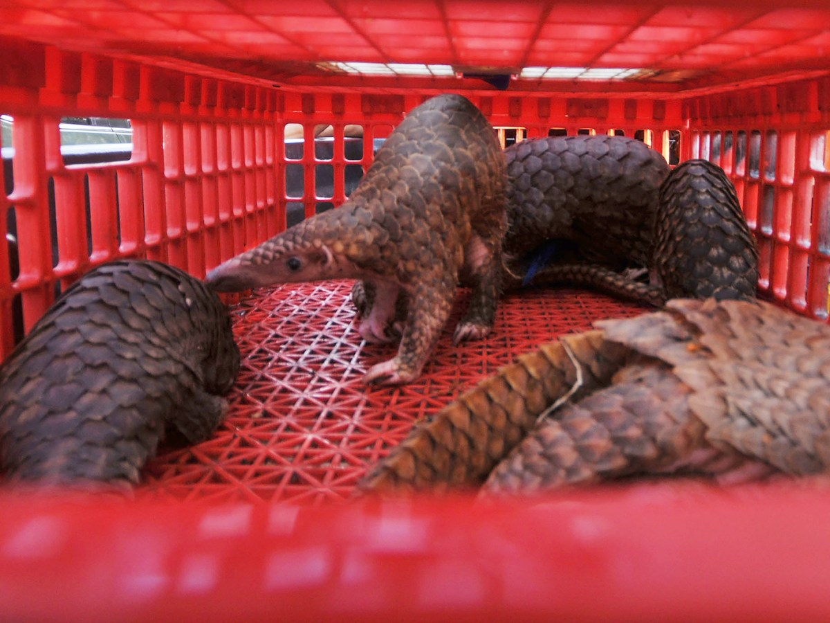 Live pangolins seized by authorities in an anti-smuggling raid in Belawan, North Sumatra, Indonesia on June 13, 2017. Indonesian authorities have seized hundreds of critically endangered pangolins and scales in a haul worth 190,000 USD after uncovering a major smuggling operation, an official said on June 14. Photo: AFP/Gatha Ginting