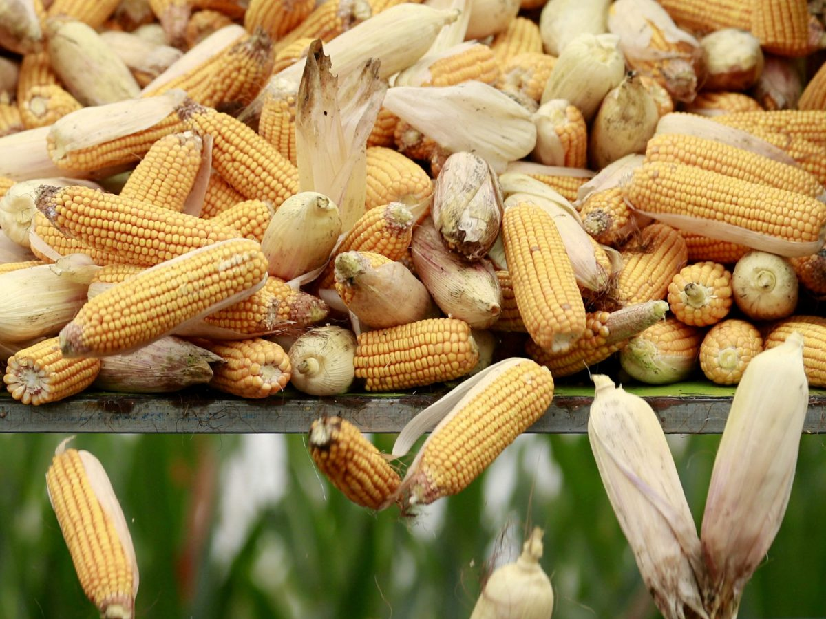 China is planning to order use of more corn-based ethanol fuel in the world's largest car market. Reuters/Kim Kyung-Hoon