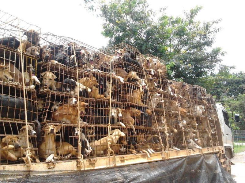 Vietnam-Caged Dogs-Soi Dog Foundation