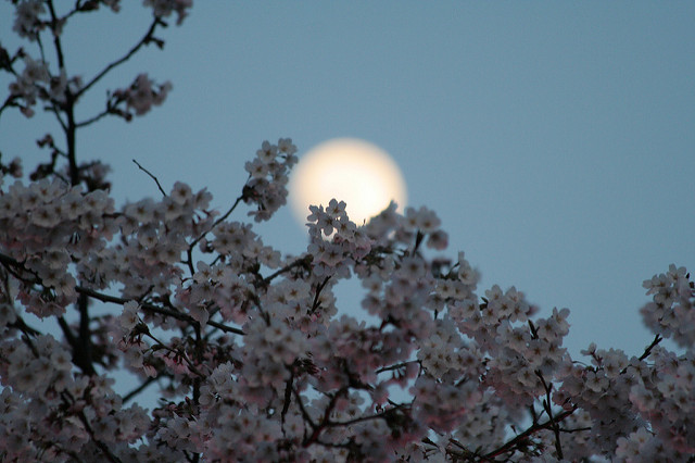 The moon appears over a cherry blossom tree in Seoul. Photo: Flickr Commons
