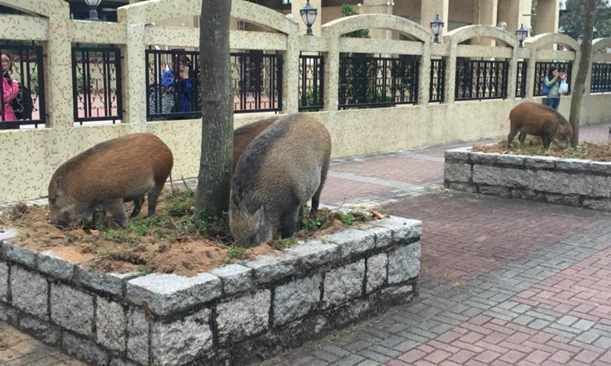Five boars are seen in Tuen Mun on November 25. Photo: Siu Kin Wai @Facebook