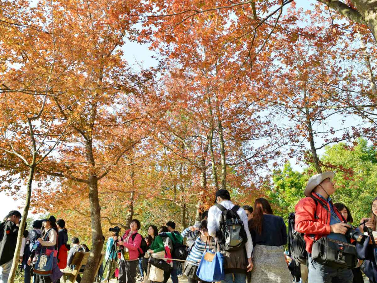 Sweet Gum trees are seen by the Tai Tong Nature Trail in Yuen Long in the New Territories. Photo: HK Government