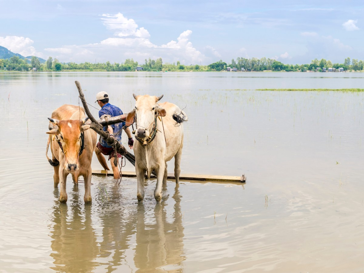 An Giang, Vietnam - September 27, 2014: Farmer drives the bulls  with wooden plough on the flooded field.