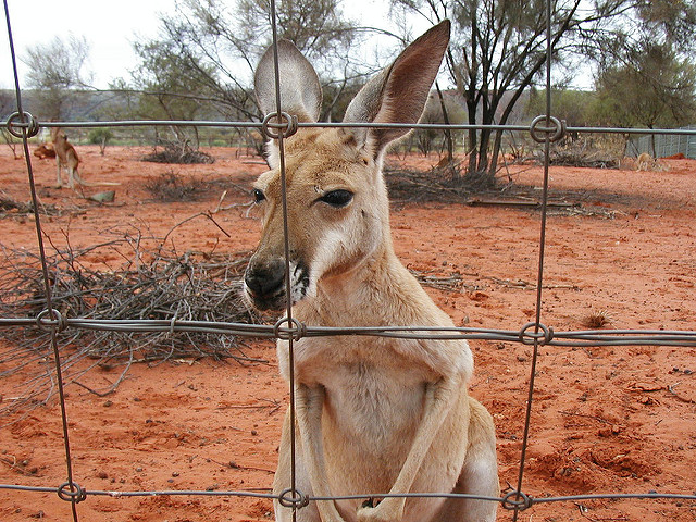 Kangaroo behind fence. Photo: Flickr Commons