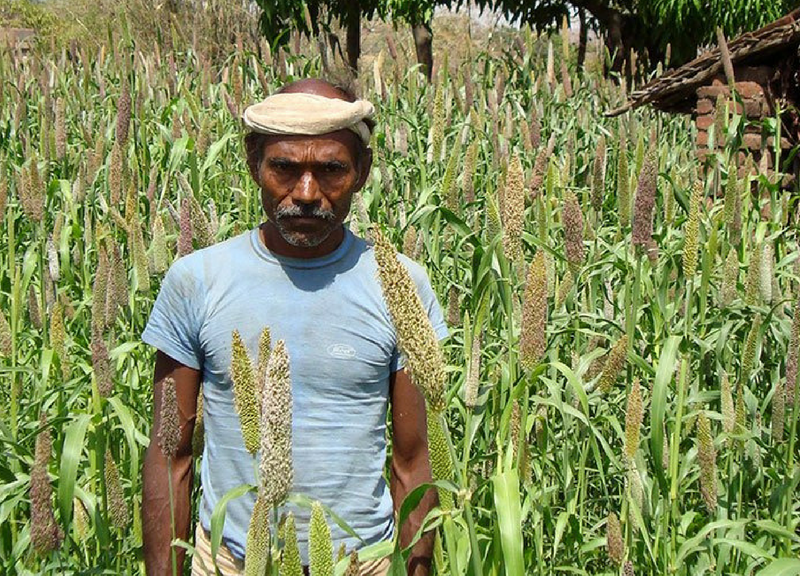 A tribal farmer stands amidst his Pearl Millet farm. The productivity of the crops is quite high, as it is grown only with cattle manure. The problem is that the landholding is so small that the total produce is not enough to feed the village. Photo: Rohit Jain
