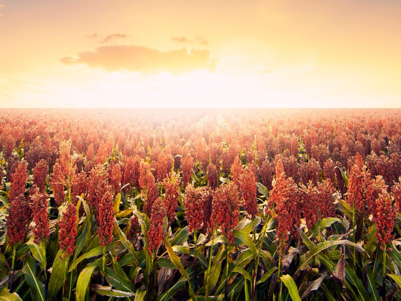 A field of sorghum. Photo: iStock