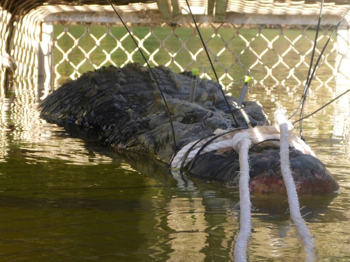 A large saltwater crocodile captured in Australia. Photo: AFP