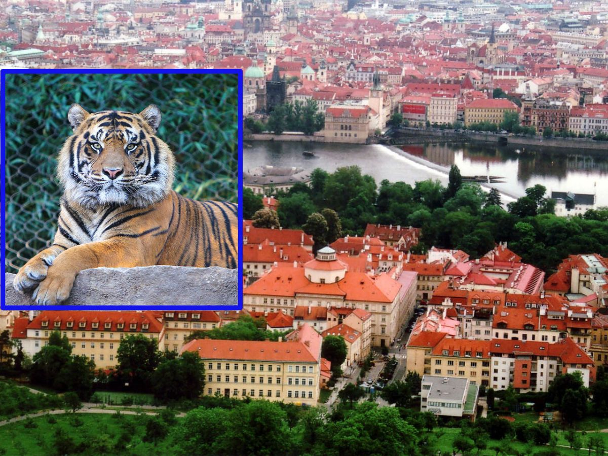 A Vietnamese man was charged with illegal wildlife trade after police found a dead tiger in a raid in the Czech Republic. Photos: Wikimedia Commons/iStock