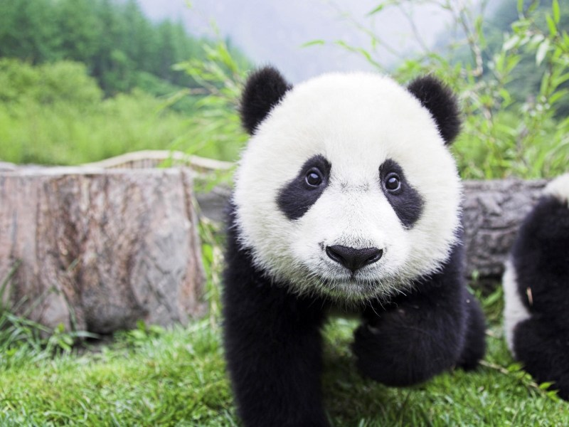 A panda cub at the Wolong conservation center in China's Sichuan province. Photo: Xinhua