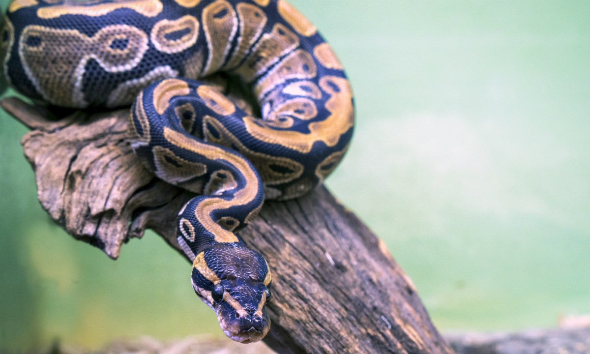 A python. Photo by iStock.