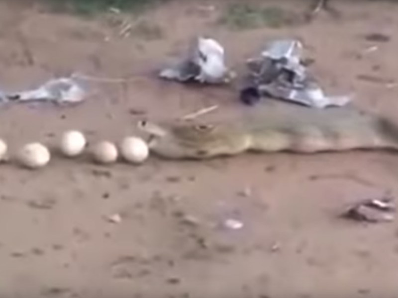 The nine eggs were perfectly intact. Photo: YouTube