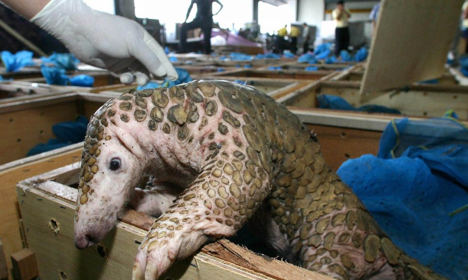 當林業官員從泰國廊曼機場的野生動物走私者手上查獲了64隻受保護的黑色沼澤龜和245隻穿山甲後,其中一隻穿山甲對重獲自由投以疑惑眼光。相片:AFP via Bangkok Post / Sarot Meksophawannakul