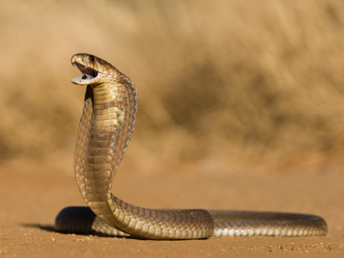 Cobra bites are lethal and can kill in minutes. Photo: iStock.