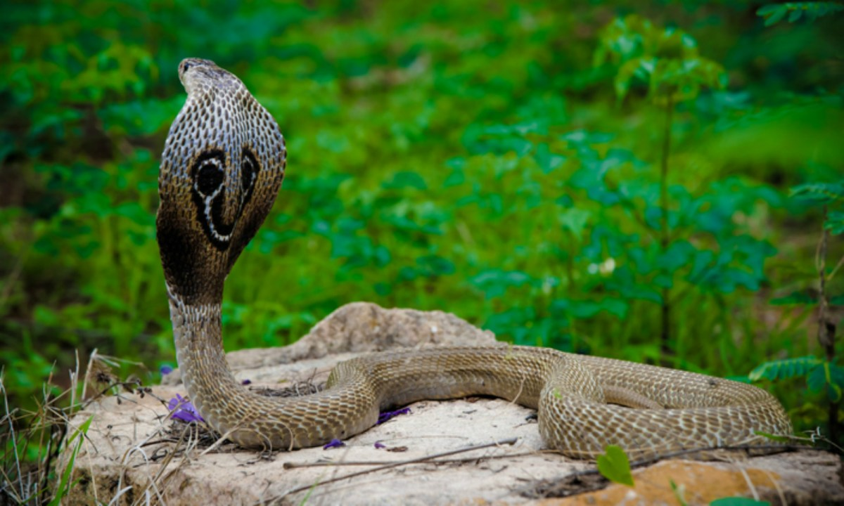 The Indian Cobra is a very poisonous snake. Photo: iStock.