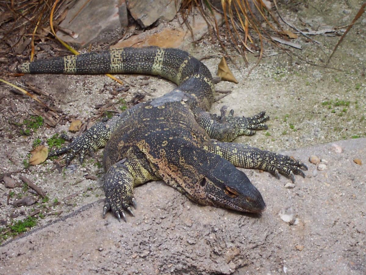 A monitor lizard. Photo: Wikimedia Commons