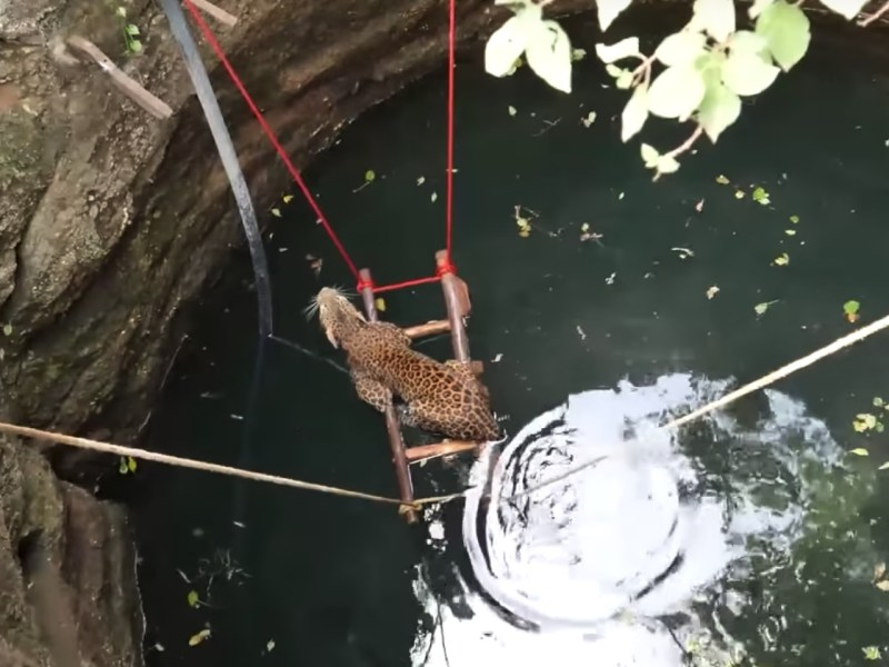 The leopard being rescued by the Wildlife SOS organization. Photo: YouTube