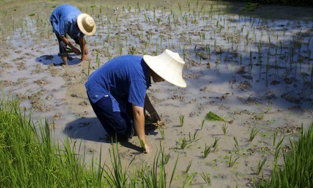 在泰國下田工作的稻農。相片:AFP / Ted Aljibe