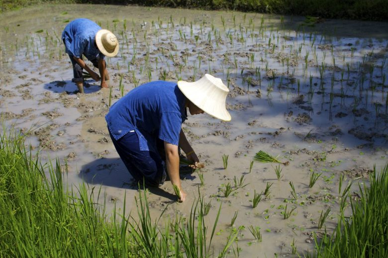 Rice farmers in Thailand working in their fields. Photo: AFP