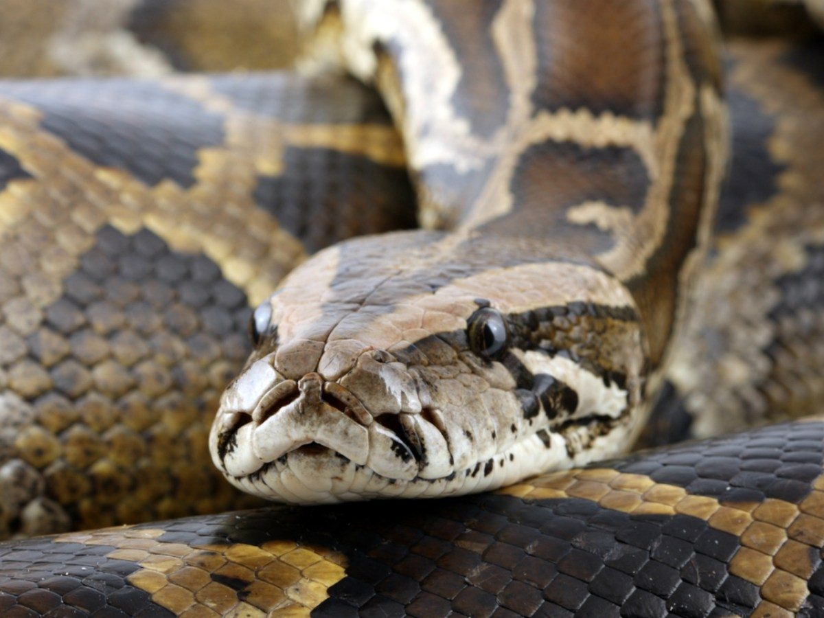 Pythons attack by coiling around their victims and crushing them. Photo: iStock.