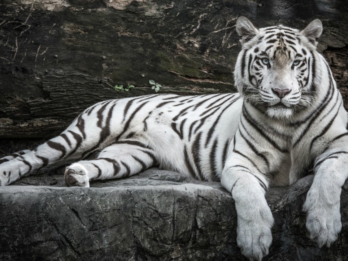 There are several hundred white tigers in captivity around the world. Photo: iStock.