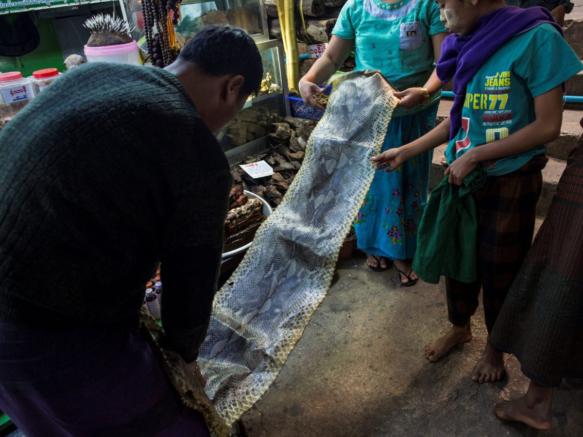 A Burmese vendor sells a large python skin at a traditional medicine shop at the sprawling grounds of Golden Rock pagoda in Mon State. Photo: AFP/Romeo Gacad