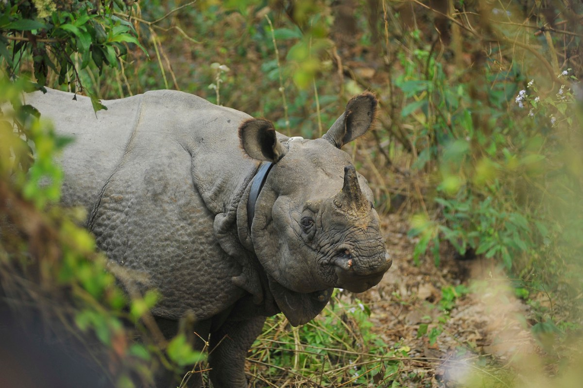 A wild rhino seen at the Royal Chitwan National Park in Nepal in December 2016. Photo: Narayan Maharjan/ NurPhoto / AFP