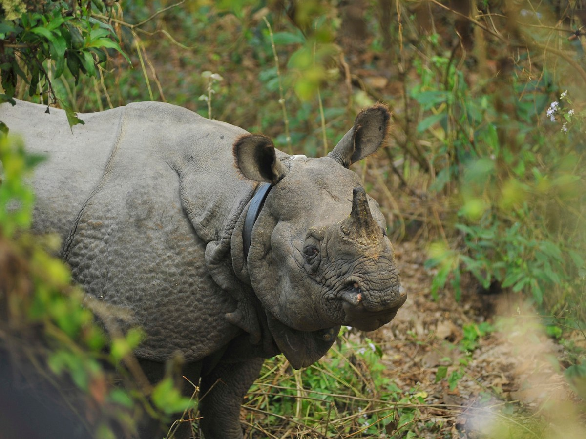 A wild rhino seen at the Royal Chitwan National Park in Nepal in December 2016. Photo: Narayan Maharjan/ NurPhoto / AFP