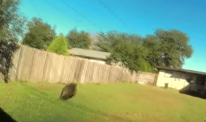 The backyard where the boar was shot dead. Photo: YouTube