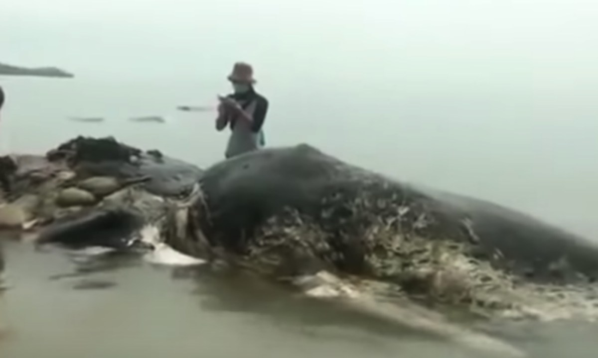 The whale was found with heaps of plastic in its stomach. Photo: YouTube