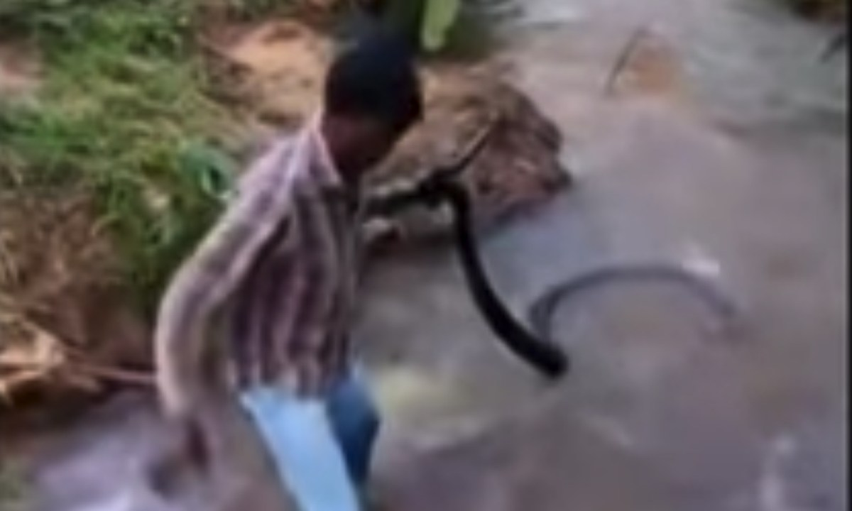 Suresh pulls the massive cobra out of the stream. Photo: YouTube