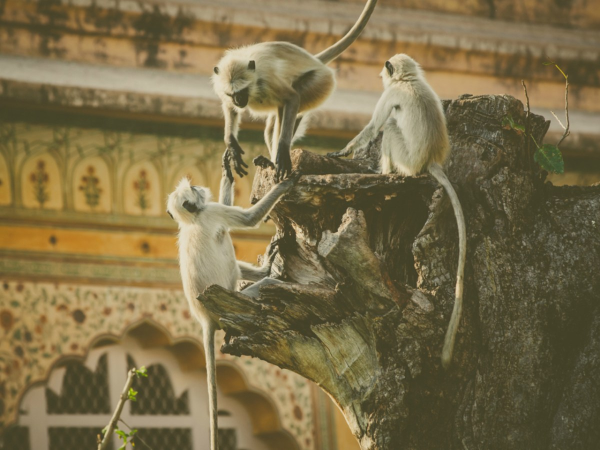 Monkeys are everywhere in India. Photo: iStock