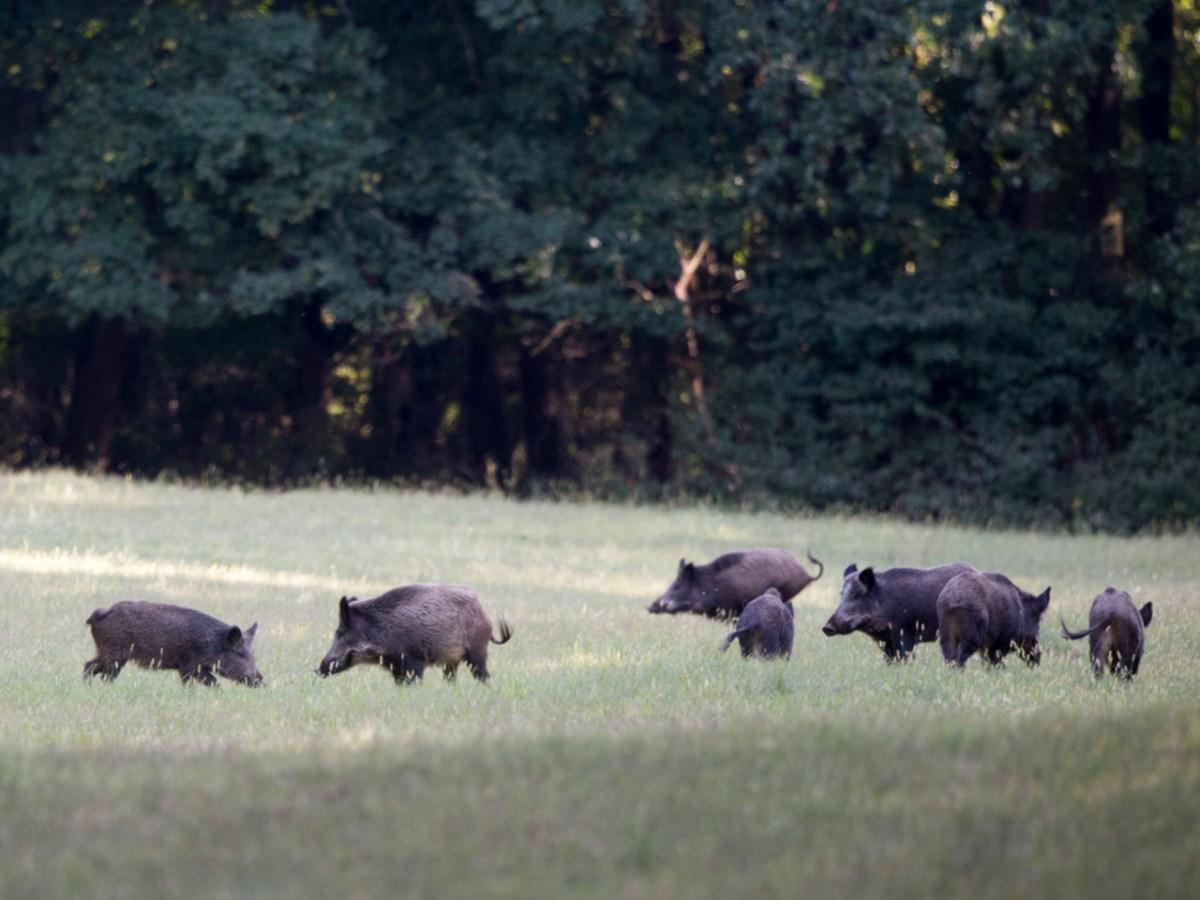 الخنازير البرية تبحث عن طعام في الغابات، حيث تتنوع مصادر طعامها. صورة: iStock