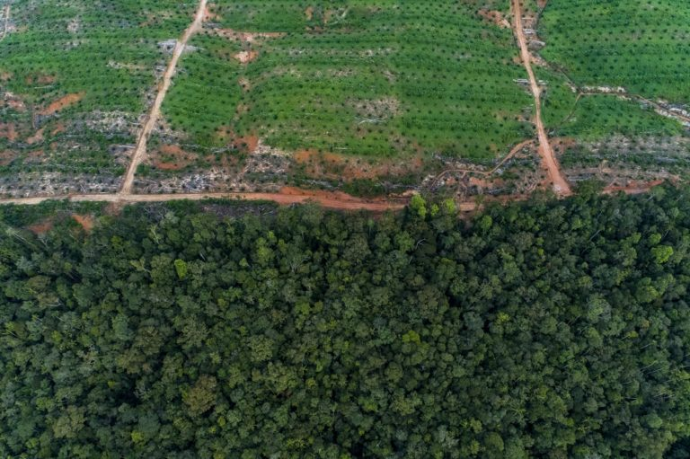 Oil palms on the edge of the Tanah Merah project. Environmentalists are calling for an immediate stop-work order on the enormous project. Photo: Nanang Sujana for The Gecko Project.