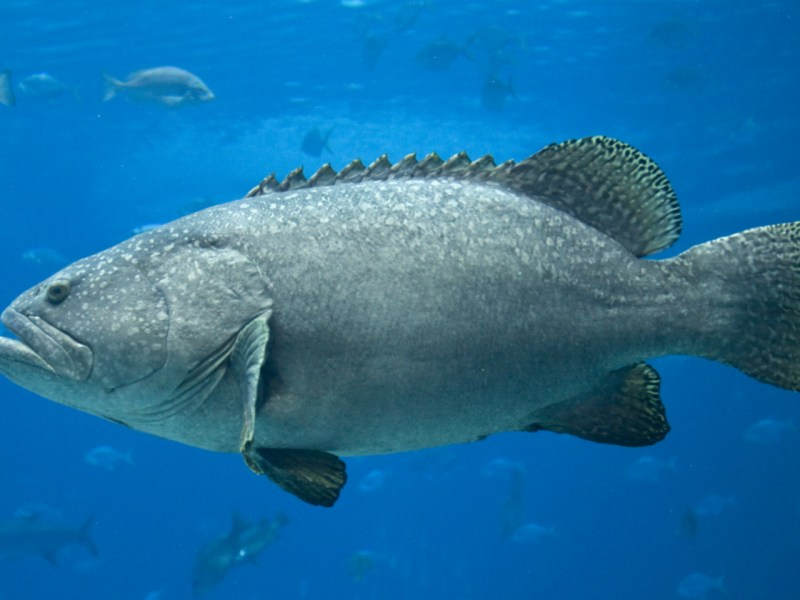 Grouper are some of the most consumed reef fish in the world. Photo: iStock
