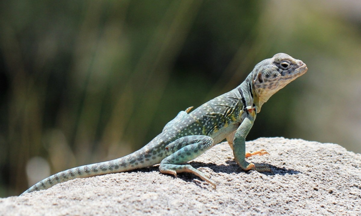 Lizards in the US were the subject of a newly published study. Photo: iStock.