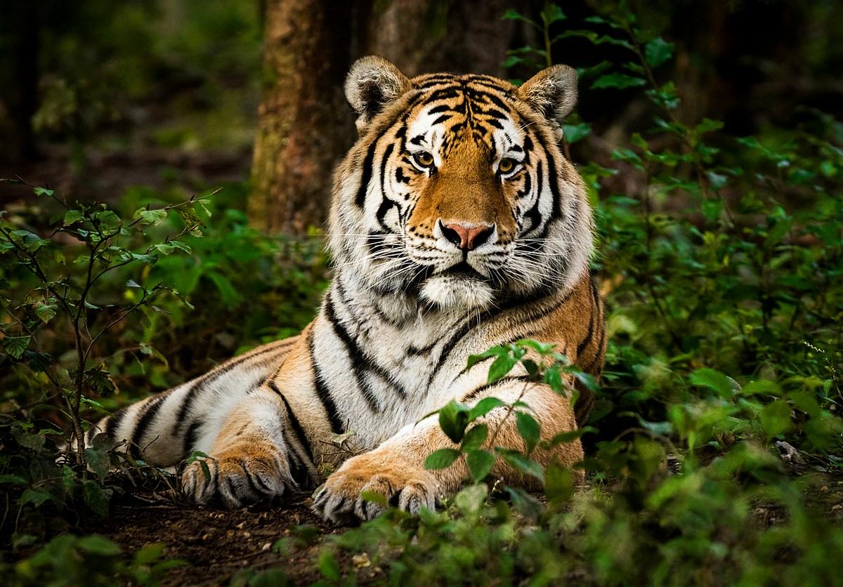 A Royal Bengal tiger. Photo: iStock.