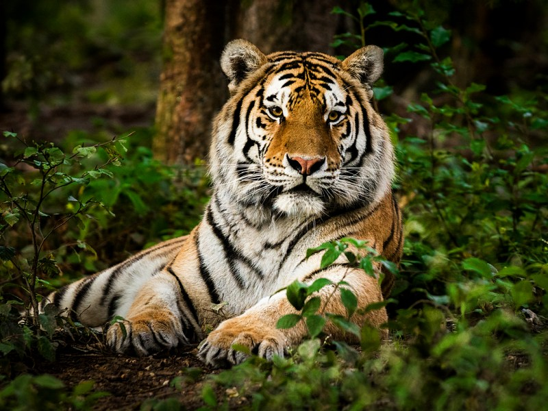 A Royal Bengal tiger. Photo: iStock.