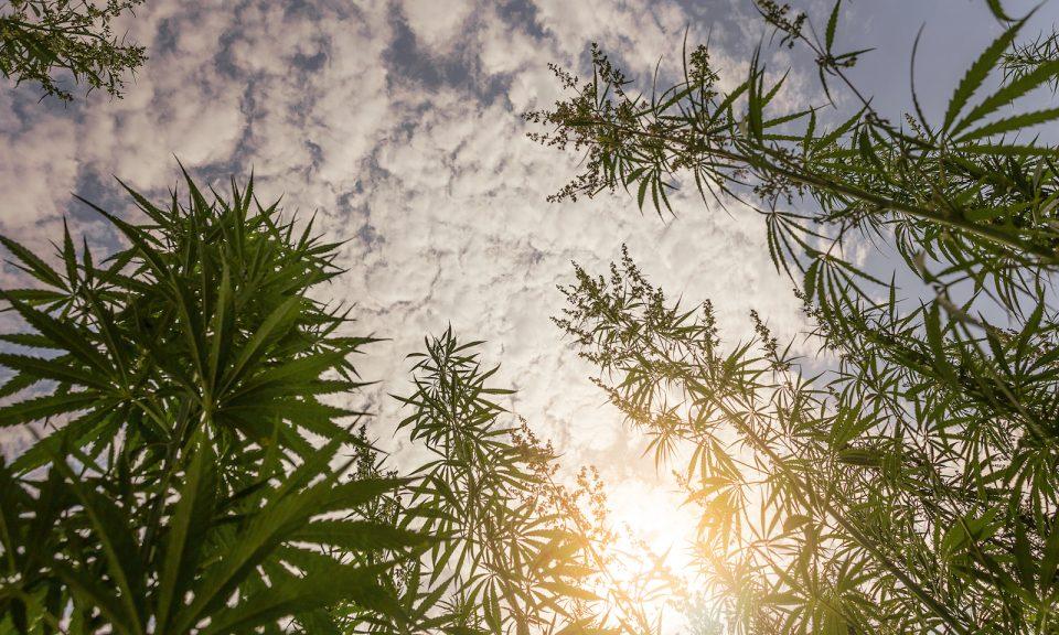 日落時的一片大麻田。相片:iStock / Getty Images