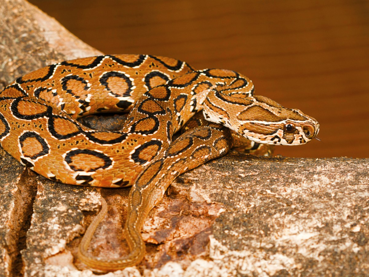 A Russell's viper, which was found with the men who were arrested. Photo: iStock