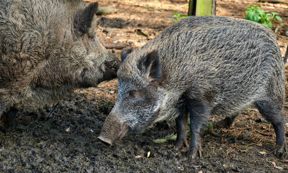 Boars are known carriers of the African Swine Fever. Photo: iStock