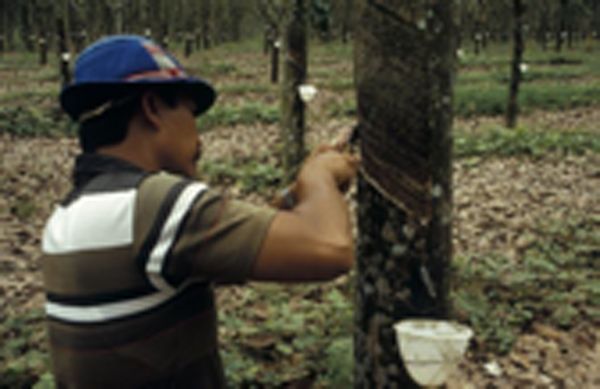 Rubber Farmers Cry for Help