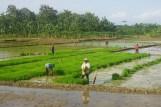 Reisanbau in Zentral-Java