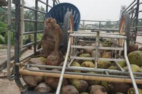 Erntehelfer - zum Kokosnuss-Pflücken abgerichteter Affe