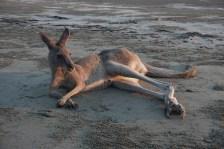 Känguru genießt Sonnenaufgang - Cape Hillsborough