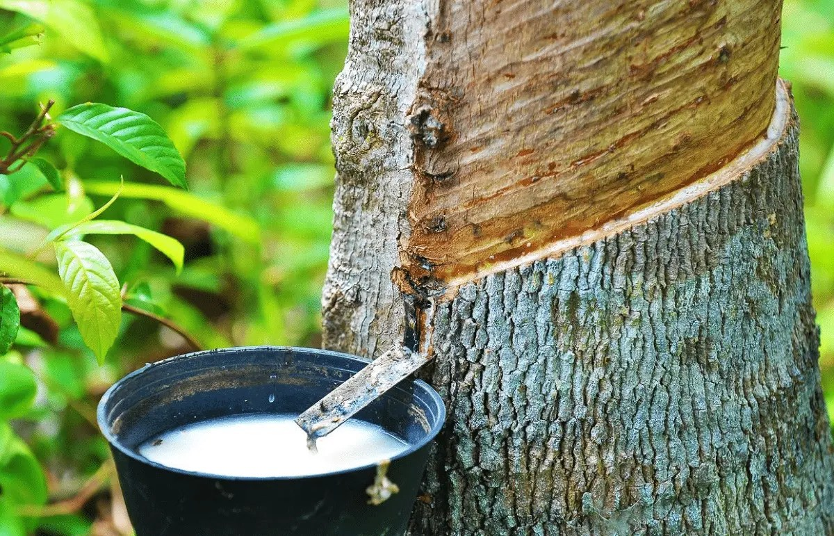 árbol-de-caucho-asiesmerida
