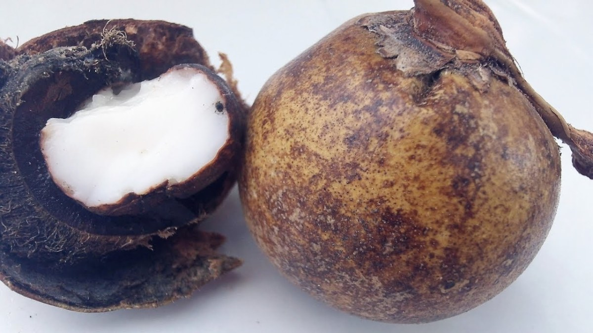 cocoyoles-enano-de-uxmal-asiesmerida