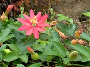 santa cruz flower3
